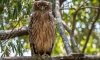 Browin Fish owl in Sri Lanka