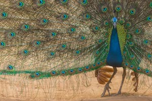 Peafowl at Pench National Parks