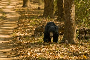 Sloth bear at Pench National Parks
