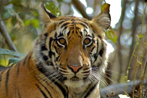 Wildlife Safari at Kanha National Parks