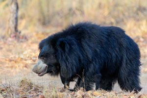 Sloth bear at Kanha National Parks